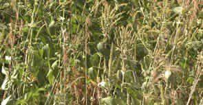 Τεστ Αλλεργίας σε Χόρτα, Ζιζάνια